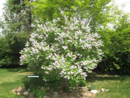 Favorite lilac tree in bloom by Cloudchild75