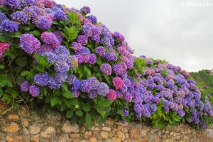 Purple and lilac hydrangeas by Jorapache