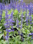 Blue Salvia. by Whitewest