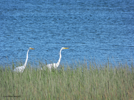 2 egrets watching by Mogrianne