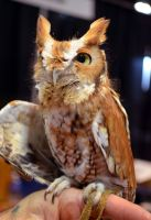 Eastern Screech Owl (1) by IsabellaNY