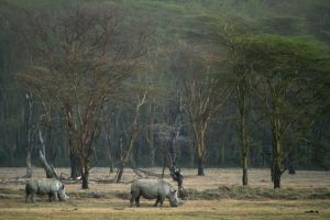 Rhinos to scale by myp55