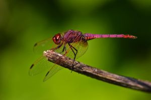 Violet Darter 2010-2 by dalantech