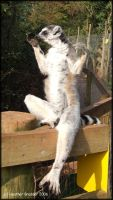 Dolton Zoo - Yoga Lemur by Werepuppy