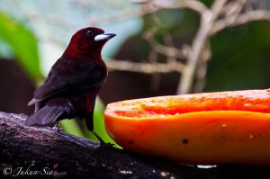 Silver-beaked tanager by Jay-Sia