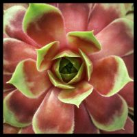 sempervivum I by sth22art