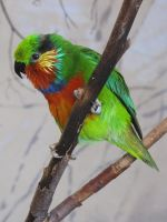 Edwards's Fig-Parrot 02 by animalphotos