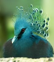 Victoria Crowned Pigeon by Romanara