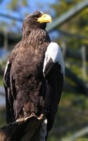 Wild Animals - Eagle Pride by BlackMan23