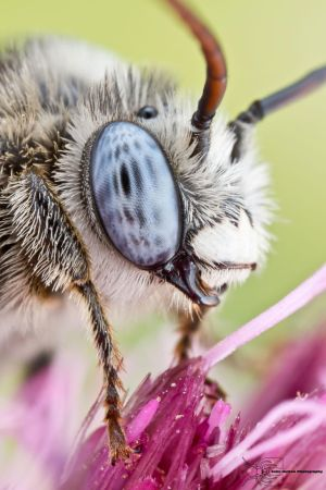 Long-horned Bee - Melissodes denticulata by ColinHuttonPhoto