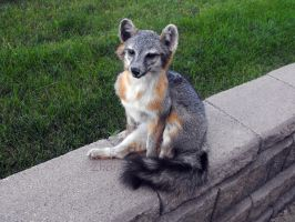 Tegan the little Grey Fox by Zhon