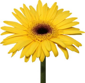 Yellow Gerber Daisy PNG by Thy-Darkest-Hour