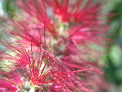 Bottlebrush Flower by christina-0o