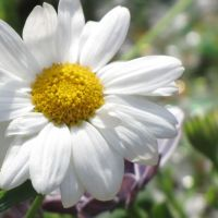 Daisy and bokeh by Heylormammy