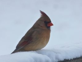 Northern Cardinal by AppleBlossomGirl