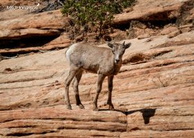 The Young Mountain Goat by mjohanson