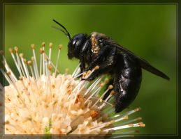 Carpenter Bee 40D0012269 by Cristian-M