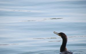 Double-crested Cormorant by BrenZan