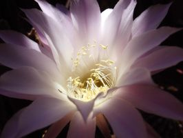 Echinopsis blossom by AriCaFoix