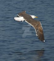 Flying seagull by MDGallery