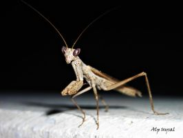 Praying Mantis by abzegh