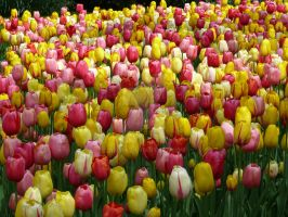 Tulips2 by Otoff