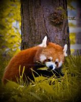 Little Red Panda in the Woods by Christazee