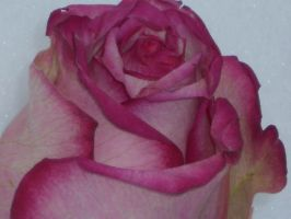 rose by autumn2010