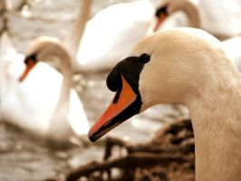 Swan by Becky125