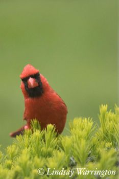 cardinal by lindsays-photos