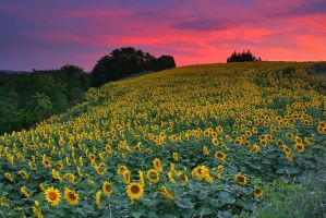 Sunflowers... by vincentfavre