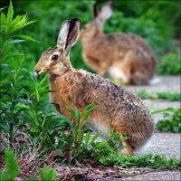european hare by XSini