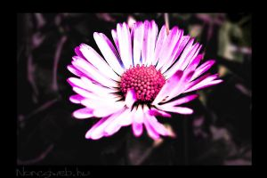 Pink daisy by Noncsi28