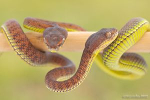 27. Pair Trimeresurus by Bullter