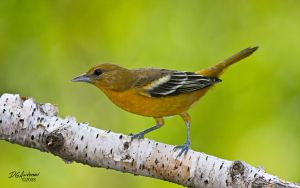 Young Male oriole II by DGAnder