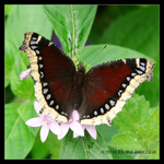 Mourning Cloak Butterfly by Mogrianne