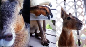 Patagonian Cavy Aesthetic by MoonsongWolf