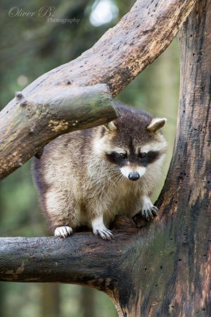 Raccoon by OliverBPhotography
