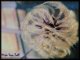 Wispy Seeds by MVTPhotography