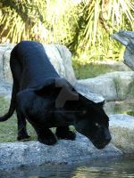 Black Jaguar 2 by Interphantom