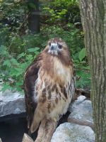 The red-tailed hawk by mustang-spirit