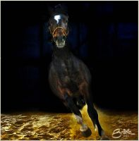 brown arabian horse by brijome