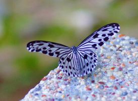 Black-and-white butterfly by a6-k