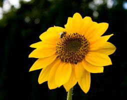 Sunflower III by Like2be