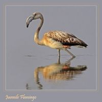 A flash of pink - juvenile Flamingo by Jamie-MacArthur