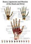 Anatomy of the Hand and Wrist by Black-Rose227