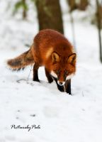 The Red Fox by PictureByPali