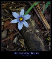 Blue-Eyed Grass by Isquiesque