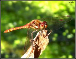 dragonfly by saffi9