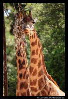 Winking Giraffe by TVD-Photography
